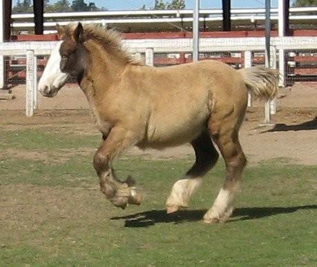 smoky black plus silver foal