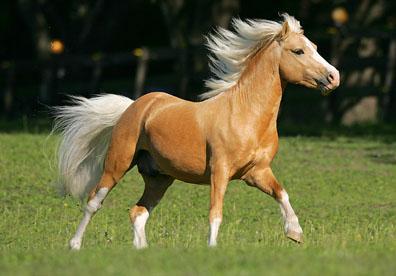 palomino welsh pony stallion