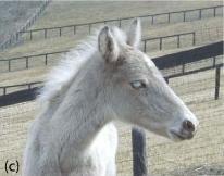 Silver Rocky Mountain Foal
