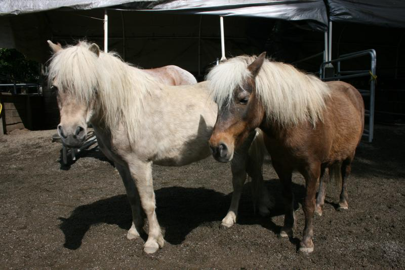 Silver black (left) and silver bay (right) Shetland ponies