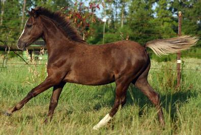 smoky black horse (colt)