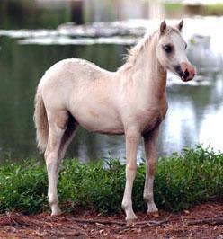 palomino filly (horse)