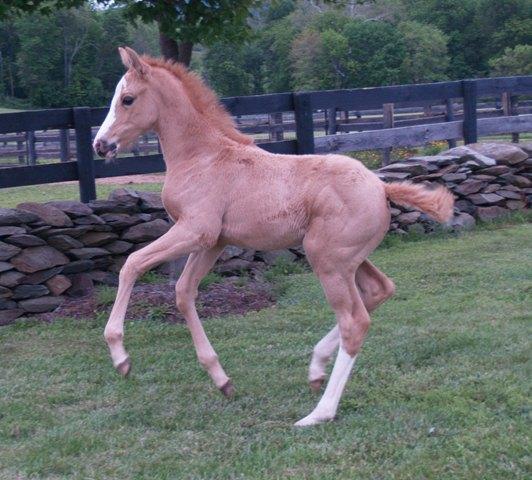 Timeless Blonde Foal