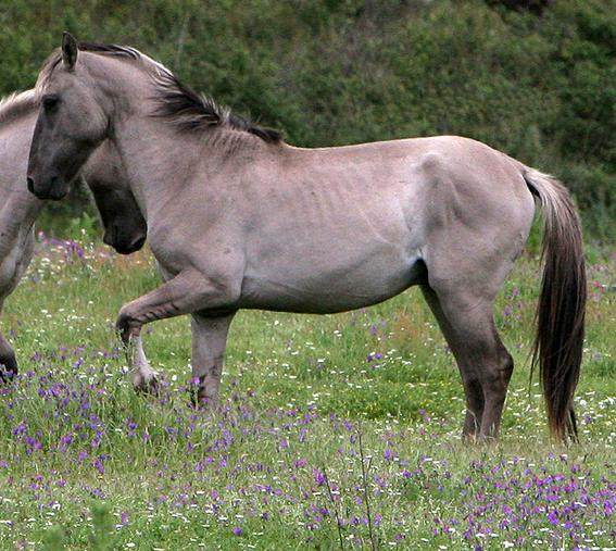 Vale de Zebro Sorraia Stallions