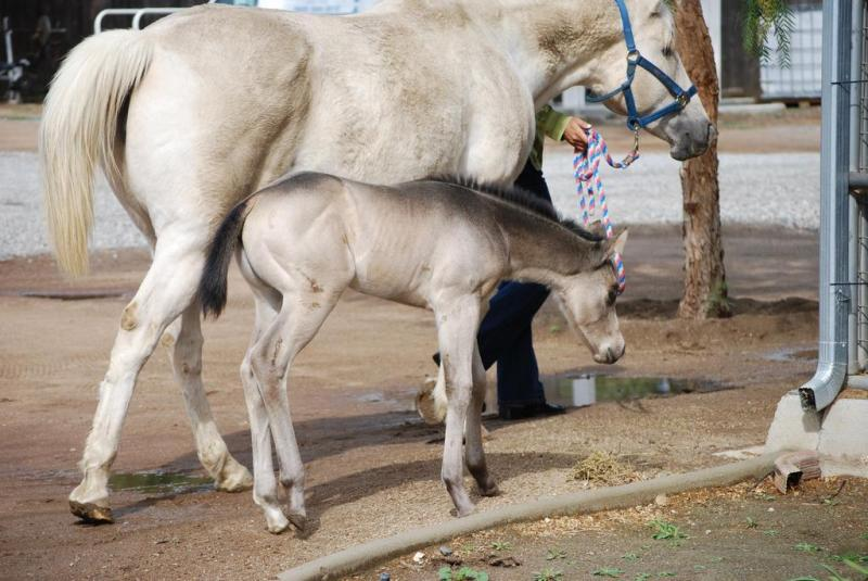 brownskin or smoky brown filly (horse) with her palomino dam