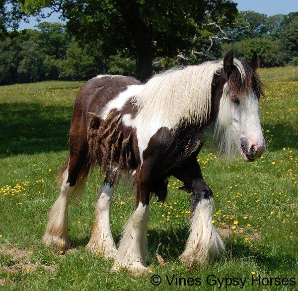 Vines Black and White Gypsy Filly