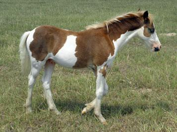 The Promise Chestnut Splash Stud Colt