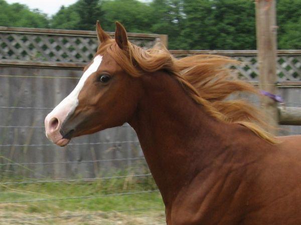 Alekhzander Sabino Arabian