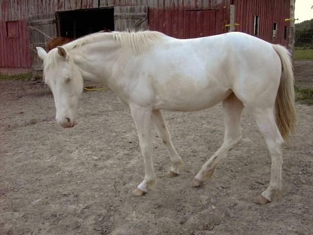 cremello pinto colt (horse)