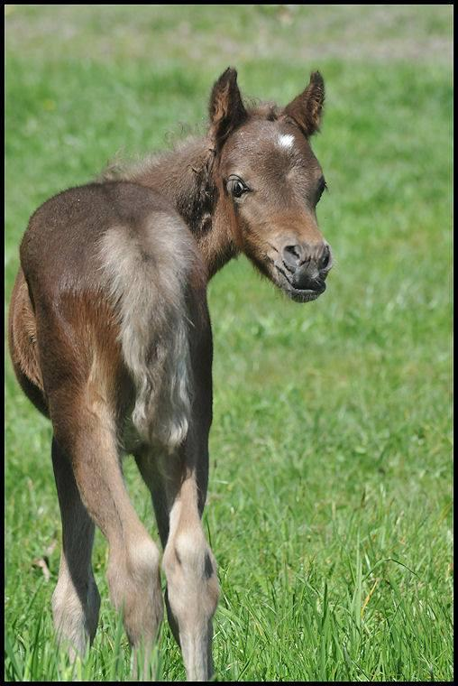 Silver brown foal