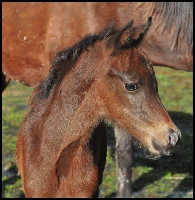 Silver Brown in foal coat
