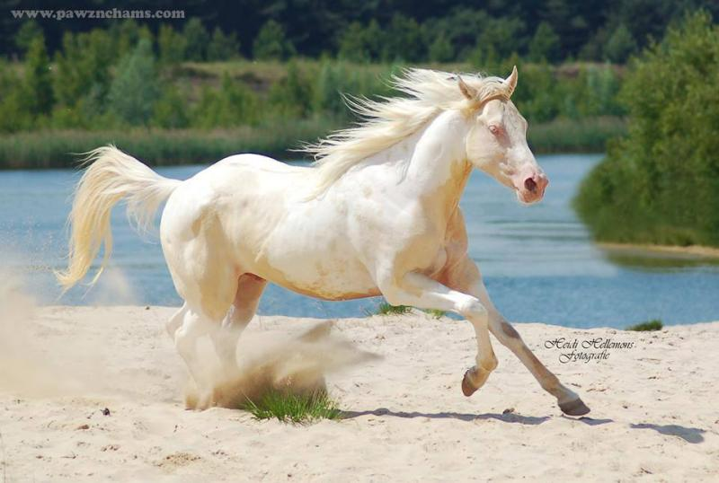 Smoky Cream dun horse