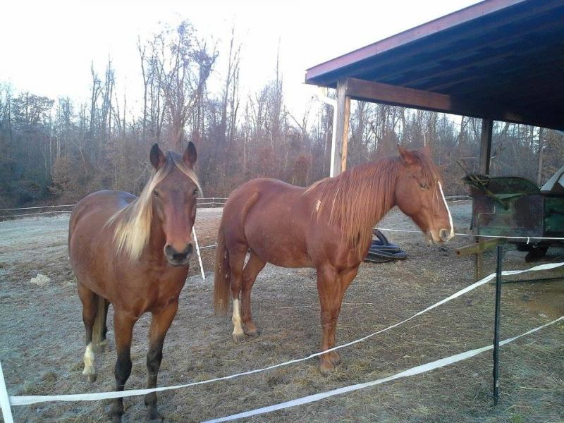 Chestnut A- Mare with Silver Bay Offspring