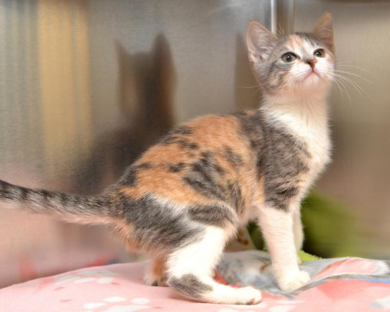 Dilute Calico Tabby