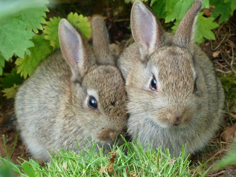"""Wild Rabbits Showing the """"Wild-Type"""" color"""