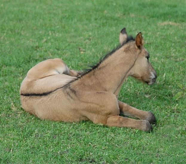 Brown dun foal