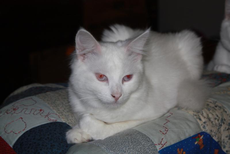 Albino Cat