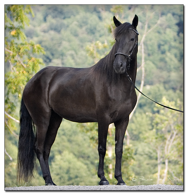 Smokey Black Horse