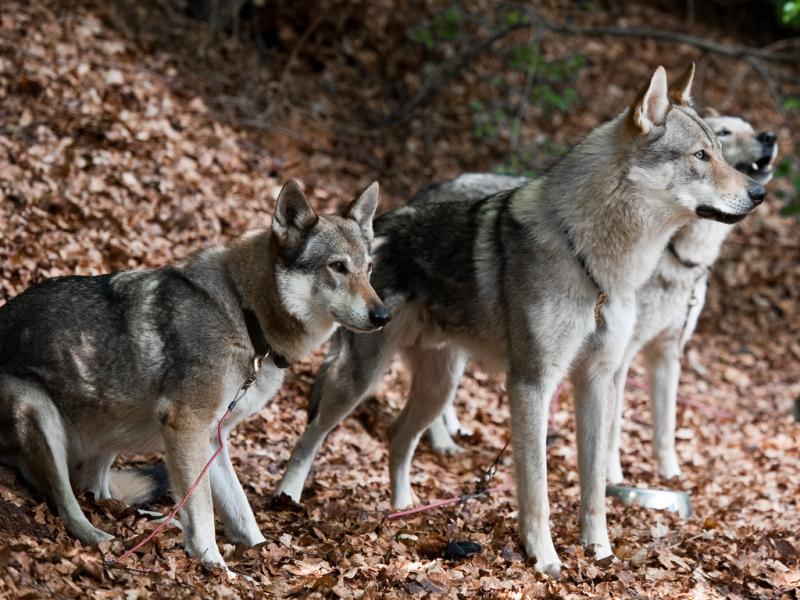 Dogs with wild-type agouti