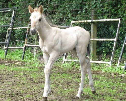 light grullo (black dun) foal