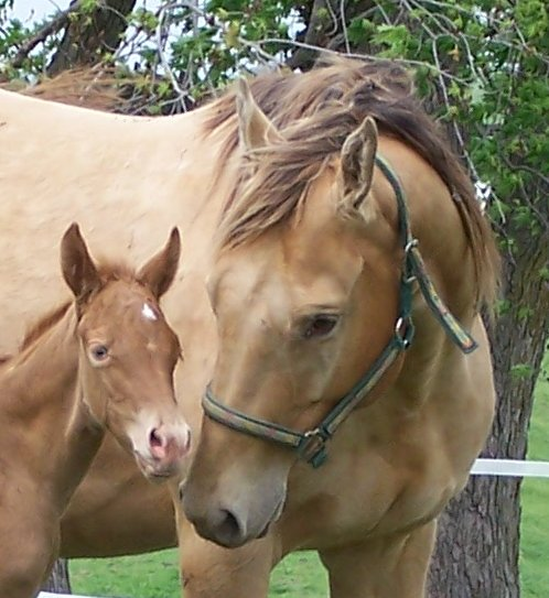 amber champagne mare with gold champagne filly