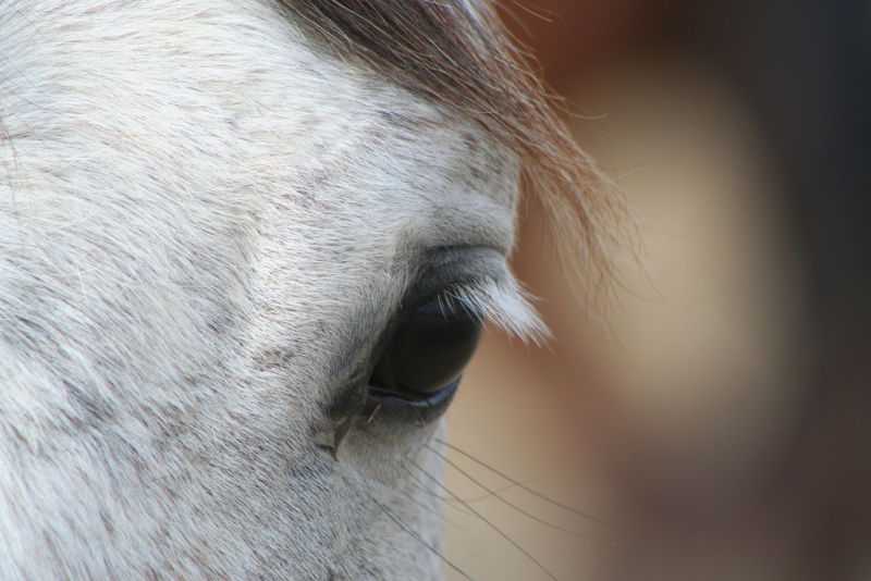Normal horse eye color this horse is also gray