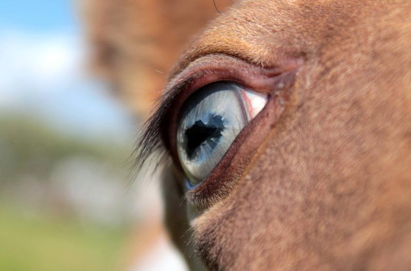 blue champagne foal eye