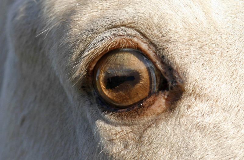 Amber Cream Champagne Tobiano Eye (horse)