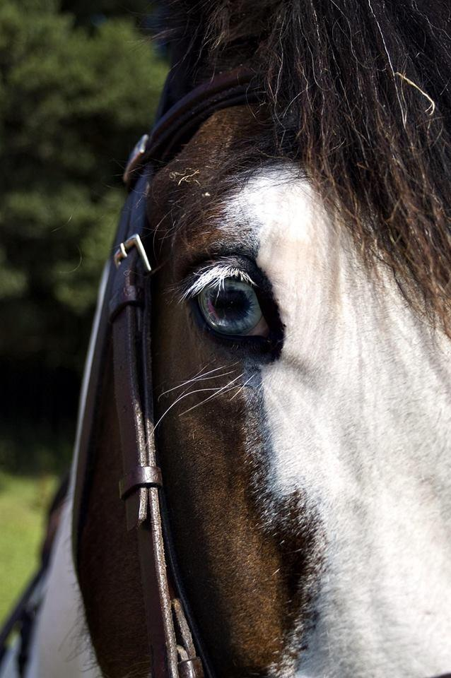 Blue eyed cob (horse)