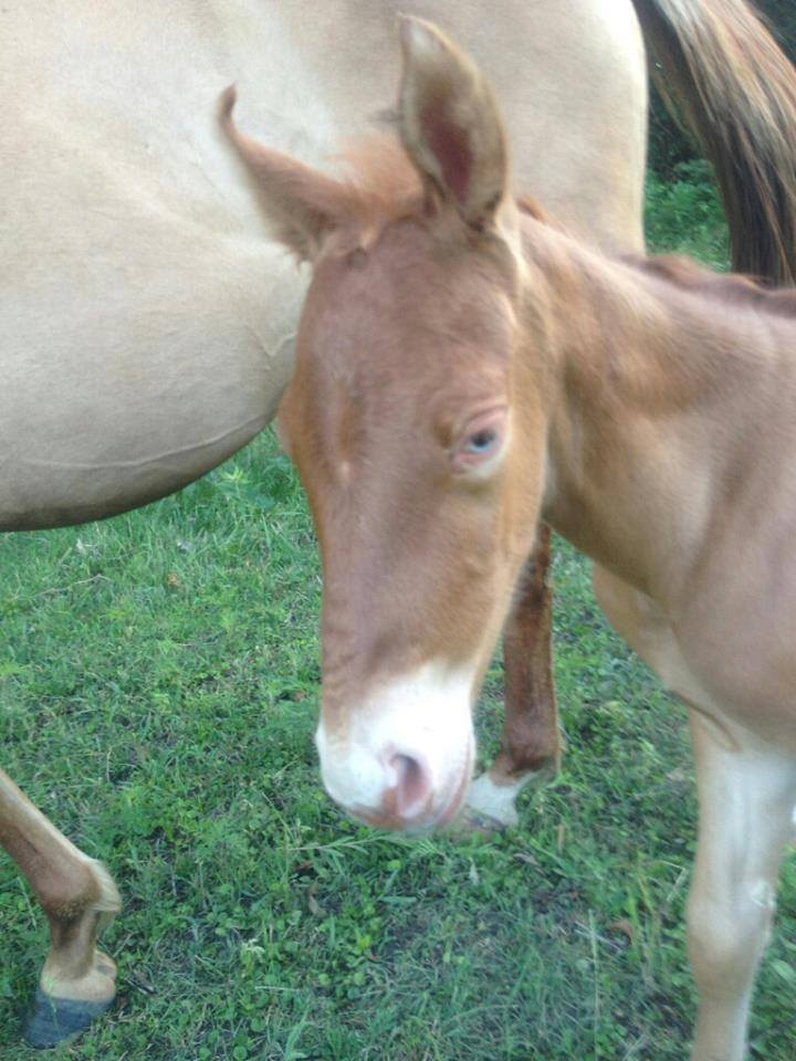 gold champagne foal with blue eyes