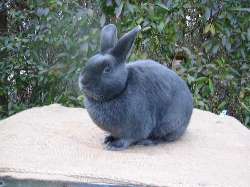 Dilute Rabbit