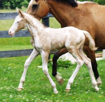 perlino dominant white foal