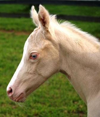cremello foal