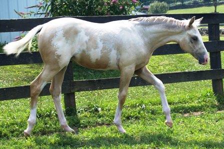 palomino plus frame horse