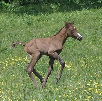 Ironstone Canter in Flowers 30hrs Old