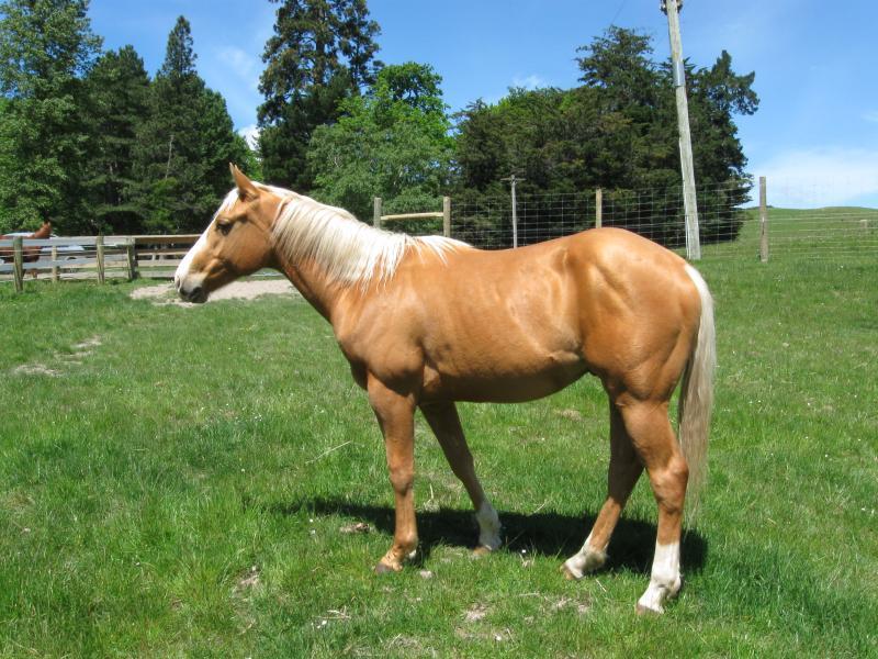 Palomino Quarterhorse