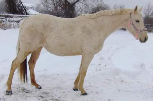 Palomino in winter coat