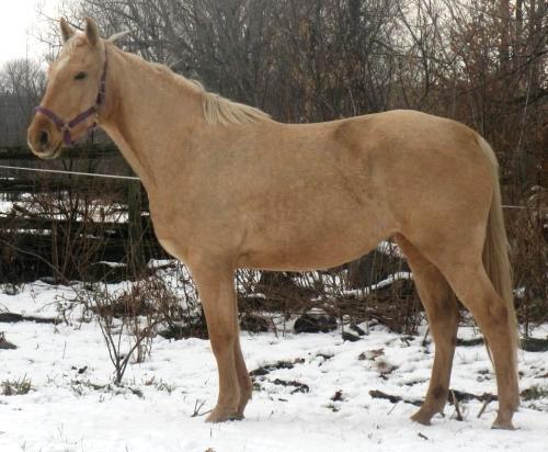 palomino thoroughbred stallion