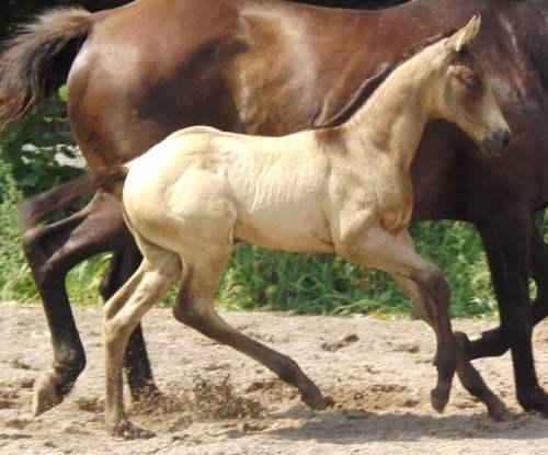 smoky brown foal