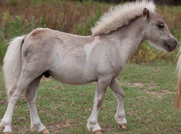 Silver Dapple tobiano Foal