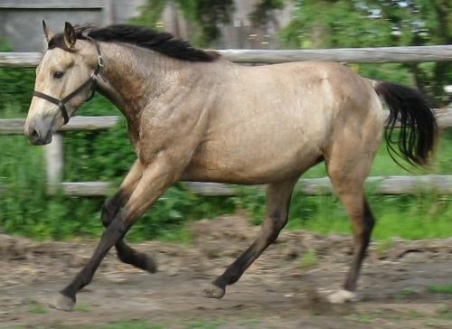 smokey brown horse