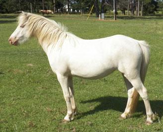 smoky cream horse