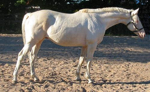 cremello thoroughbred stallion