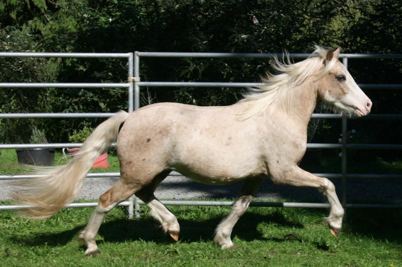 Palomino Welsh C pony