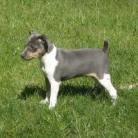 blue and tan rat terrier