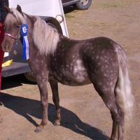 Roxy- Black Silver Dapple Minature 16 months old.