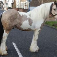Buckskin Pinto Gypsy Stallion