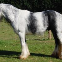 Dominant white or Sabino 1 with Tobiano