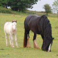 Vines Black Broodmare + Foal