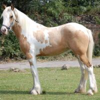 buckskin pinto filly (horse)